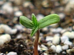Росте конопля семена марихуаны моби дик