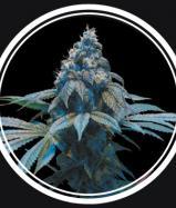 Купить семена Blue Queen Fem