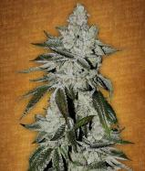 Сорт Girl Scout Cookies