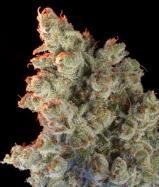 Купить семена каннабиса Super Silver Haze Fem