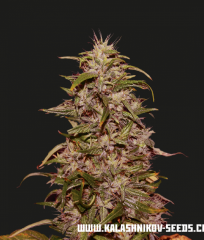 Big Altai Sativa Express