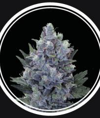 Купить семена Blue Queen Auto Fem