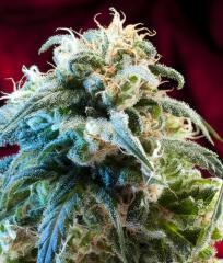 Mazar Bazar Auto cannabis seeds