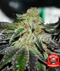 Original Juan Herer Regular Delicious Seeds