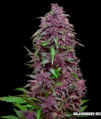 Сорт Purple Mazar