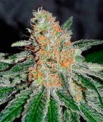 марихуана CBD JAM