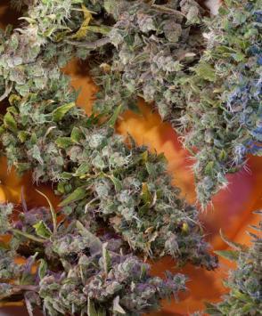Семена конопли раста марихуана 24