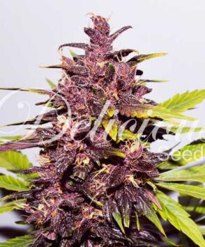 Auto Dark Purple1