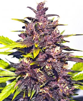 Auto Dark Purple