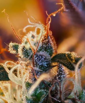 семена марихуаны Cream Mandarine XL Auto