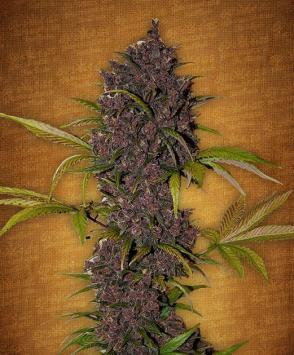 Лсд семена конопли купить в каких странах легально марихуана