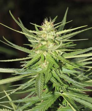 White Widow Auto rastaman seeds